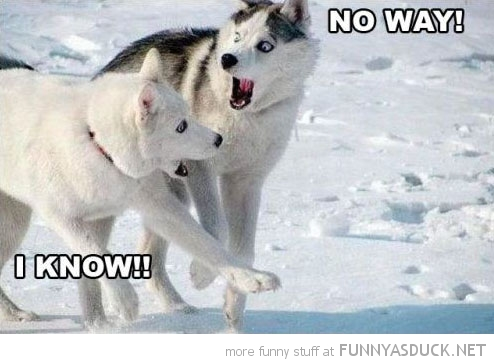 funny-shocked-dogs-no-way-husky-snow-pics